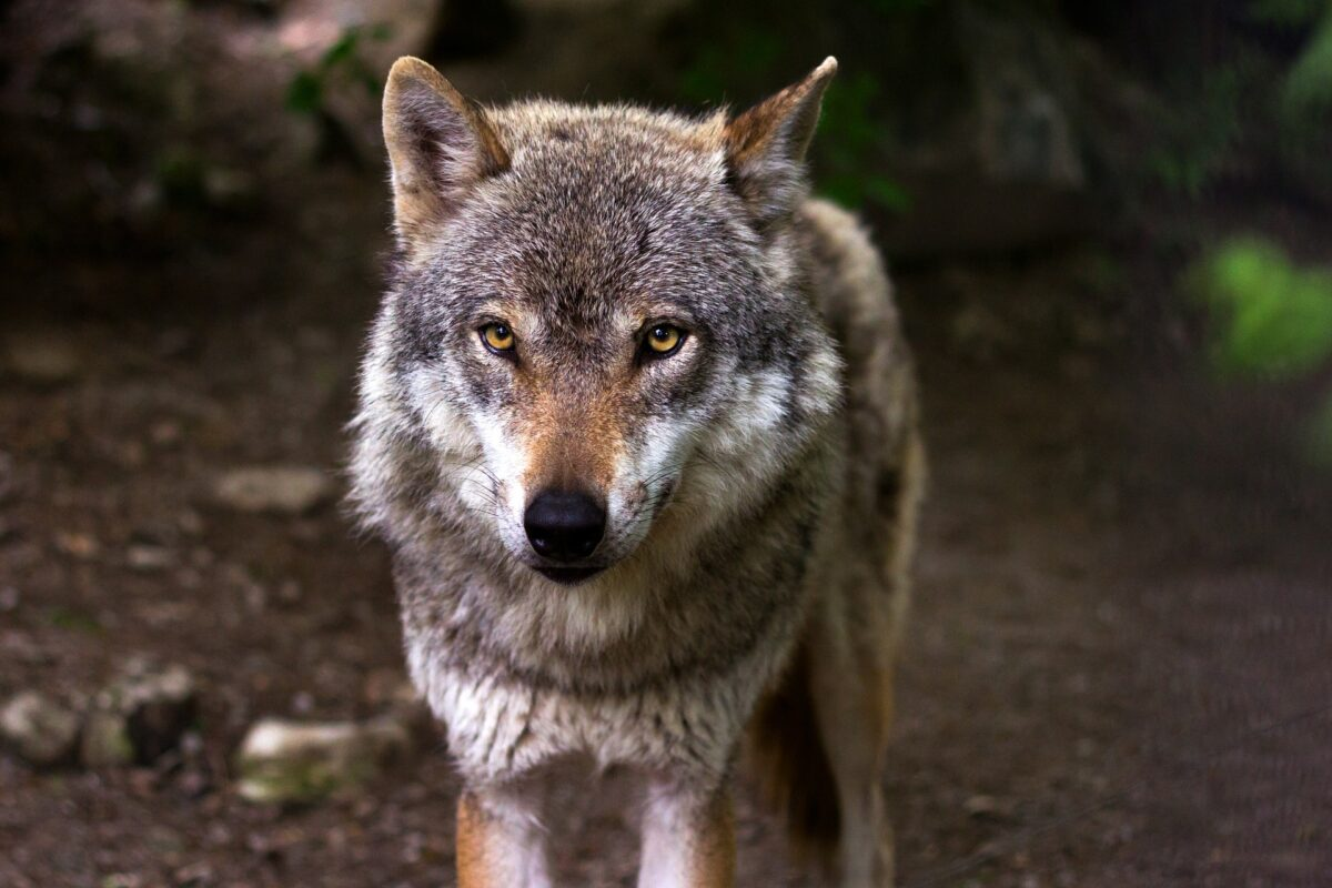 ¿Qué significa soñar con un lobo?