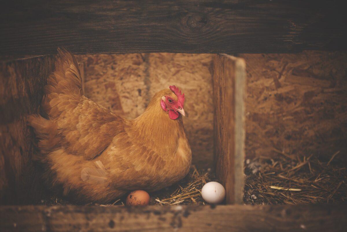 ¿Qué significa soñar con una gallina?