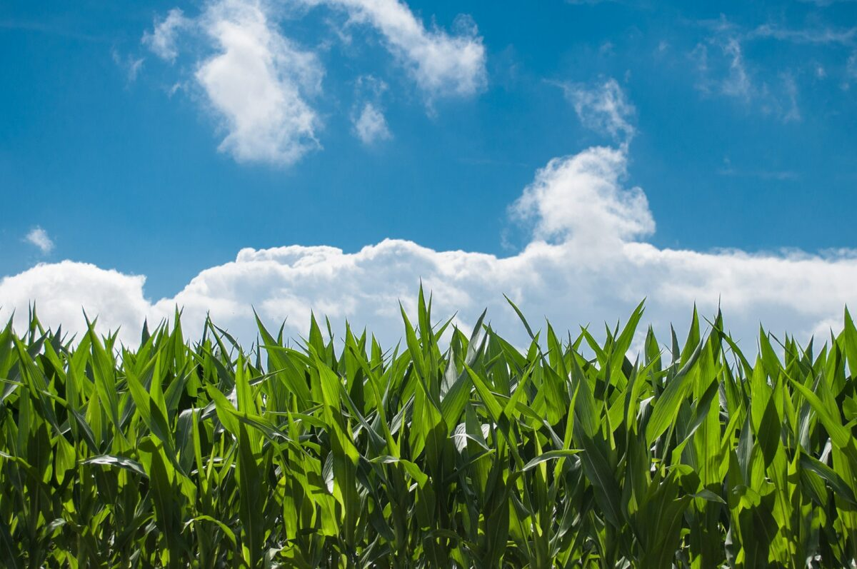 ¿Qué significa soñar con maíz?