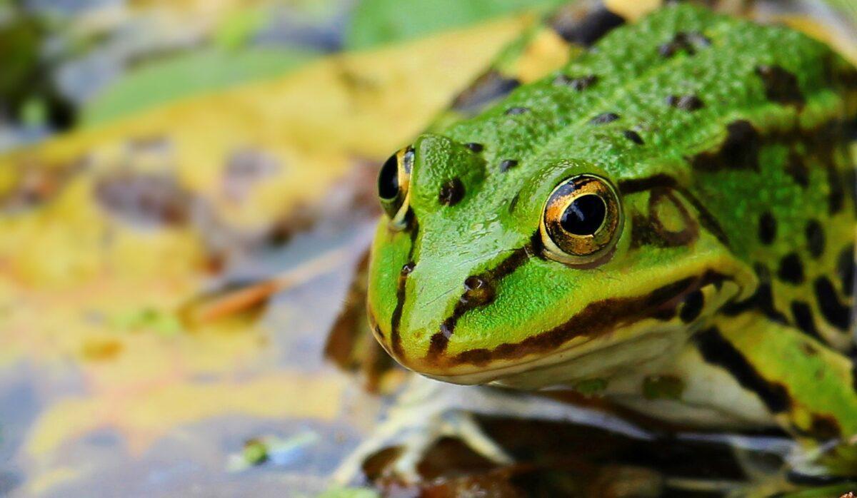 Interpretación de sueños rana – ¿Qué significa soñar con una rana?